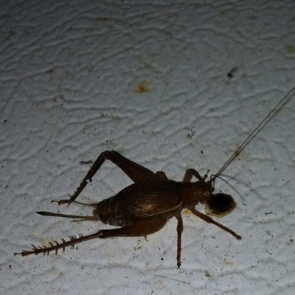 Restless Bush Cricket, female