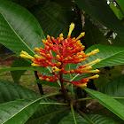 Isertia flower