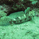 Red-mouthed goby
