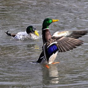 Hey! You're getting my wings wet! by Janet Young- Abeyta - Animals Birds (  )