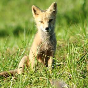 Posing by Luis Domar - Animals Other ( #sunny, #dutchharbor, #sunnyday, #babyfox, # posing )