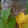Yellow-Poplar/Tulip-Poplar