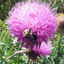 Bumble bee/ musk thistle