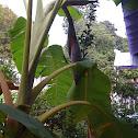 Banana Plant/Banana Tree