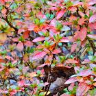 Japanese Snowbell
