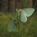 Large Emerald moths
