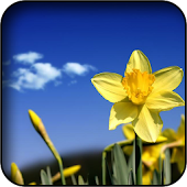 Daffodils Wallpapers