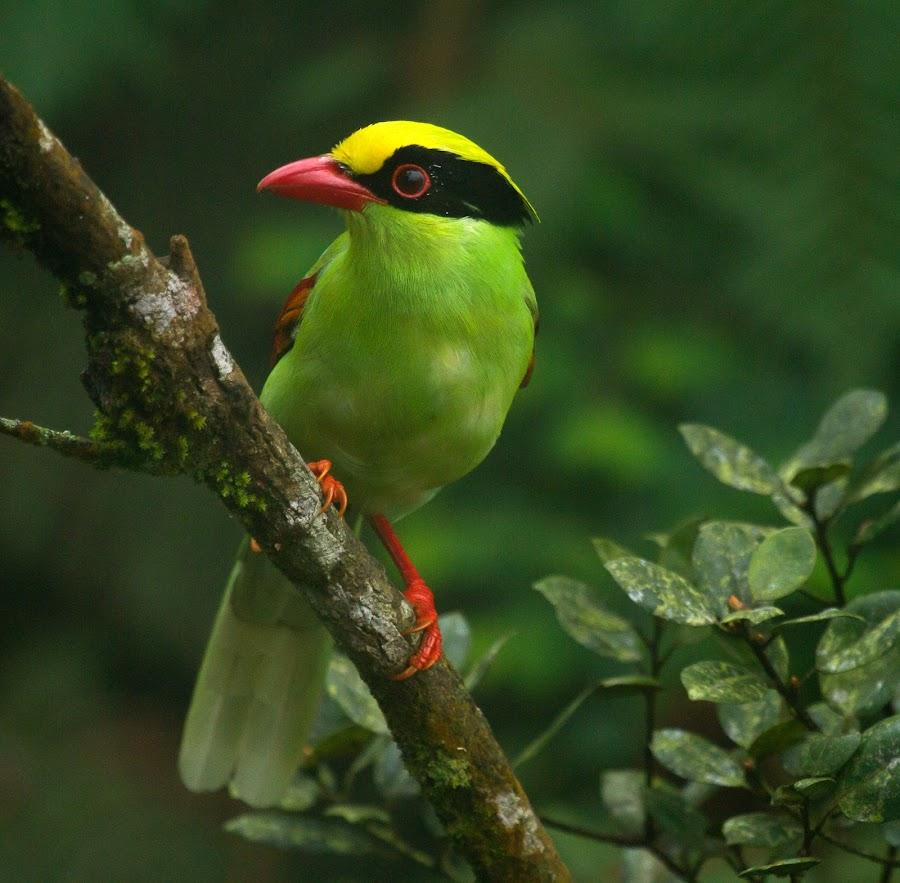 Common Green Magpie by Vijay Sachan - Animals Birds