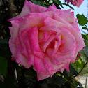 Rosa. Rose