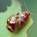 Tortoise leaf beetle
