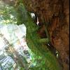 Plumed Basilisk (Green Basilisk)