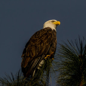 Looking out by Scott Morgan - Animals Birds ( looking, eagle, dignified, tree, color, bald eagle, noble, bald, pine,  )