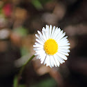 White-Leaf Ground Daisy