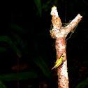 Doria's Spiny spider