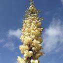 Chaparral Yucca