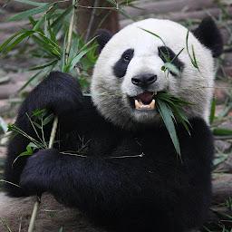 愛らしいパンダの壁紙をライブ