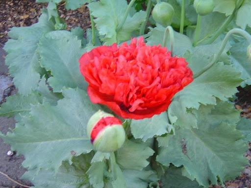 Opium Poppies Wallpapers