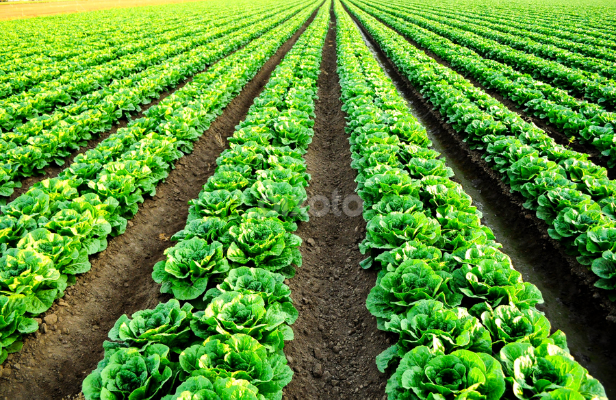 close up of lettuce rows  by Kathy Dee - Landscapes Prairies, Meadows & Fields ( plants, farmland, califronia, valley, vegetation, coast, farming, rows, farm, lettuce, healthy, salinas, vegetable, central, closeup, produce,  )