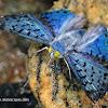 Blue Metalmark Butterfly