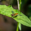 Marmalade Hoverfly (male)