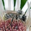 Bumblebee (male)