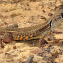Common Butterfly Lizard