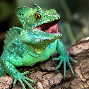 Green Basilisk by Renos Hadjikyriacou - Animals Reptiles (  )