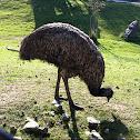 Female Emu