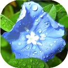 Flowers in dew live wallpaper icon