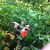 Coral Nymph Salvia