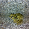 Common Indian Toad ( मेढक )