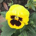 rose of sharon: type yellow