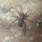 Ground Sac Spider/Ant mimic spider