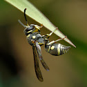 Eusocial paper wasp (Ropalidia sp)