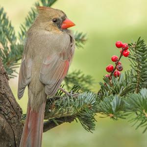 Sue Matsunaga Cardinal and Berries.jpg