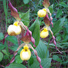Yellow lady-slipper