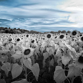 follows the sun by Lara Zanarini - Flowers Flowers in the Wild ( blu, sky, black and white, infrared, lara, sunflower, flowers, zanarini, Hope )