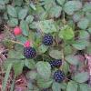 Dewberries