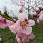 Peach Tree and Bee
