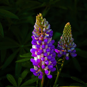 Lupinos by Daniel Sapag - Flowers Flowers in the Wild ( flores, neuquen, lupinos, silvestre, naturaleza )