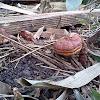 uncertain fungus