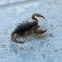 California Forest Scorpion