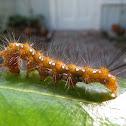Spotted Oleander Moth Catepillar