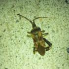 leaf legged bug