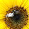 Dingy cutworm moth and Bumblebee