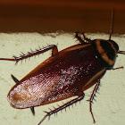 Cucaracha/Household roach