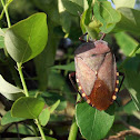 Stink bug, shield bug