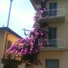 Purple Bouganvillea vine