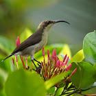 Loten's/ Long-billed Sunbird