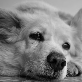 Dreaming by Sanjeev Sampath - Animals - Dogs Portraits